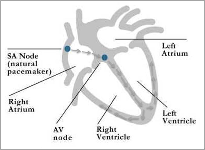 Heart diagram sa box circuit connection diagram supraventricular tachycardia rh kimrajappan co uk simple human heart diagram heart shaped box ccuart Gallery